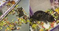 Hier die Katzen-Version von Ein Mann geht in eine Bar . Eine Miezekatze schlich sich in eine nicht näher identifizierte Tierhandlung. Ein Mitarbeiter fand sie später, am Durchdrehen beim Katzenminze Spielzeug .