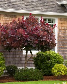 Dramatic, long-lasting, pinkish purple, smoke-like airy seed clusters backed by reddish purple foliage create a prized small tree or large accent shrub. Foliage holds its color all summer, then turns scarlet red in autumn. Landscaping Trees, Front Yard Landscaping, Luxury Landscaping, Landscaping Software, Backyard Patio, Inexpensive Landscaping, Landscaping Company, Backyard Ideas, Terraced Backyard