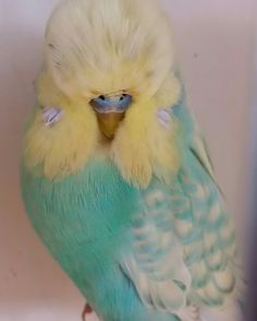 Spangle Yellowface Opaline Cobalt Exhibition Budgie