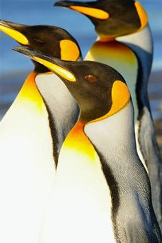 King penguins are the second largest penguin and breed on the subantarctic islands at the N reaches of Antarctica, South Georgia, and other temperate islands in the region. Penguin Animals, Penguin Art, Penguin Love, Cute Penguins, Animals And Pets, Baby Animals, Cute Animals, Wild Animals Photography, World Photography