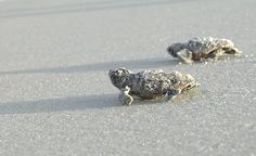 Watch sea turtles hatch.... CHECK!