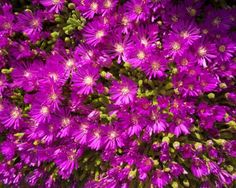 Looking for a drought tolerant but lovely flower to fill in a troublesome dry area in your garden? You may want to try planting ice plants. Ice plant flowers can add a bright splash of color to the drier parts of your garden and ice plant care is easy. Drought Resistant Plants, Drought Tolerant, Planting Succulents, Planting Flowers, Ice Plant, Plant Information, Ground Cover Plants, Orchid Care, Garden Care