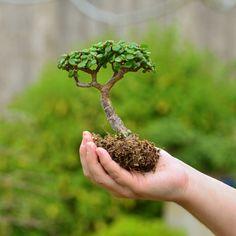 Portulacaria afra aka dwarf jade / elephant jade / spekboom. The perfect succulent for bonsai.