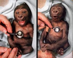 A newborn baby gorilla at Melbourne Zoo gets a checkup at the hospital and shows surprise at the coldness of the stethoscope. - awwwwww !