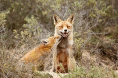 mother and baby red foxes kissing