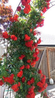 Orange Crush Climbing Rose