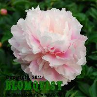 Paeonia `Zhong Sheng Fen´ Original pink Ekä särkyneitten sydänten lähellä tai tien toisella puolella