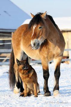 Byelorussian Harness Horse gelding Грошадь (Groshad)