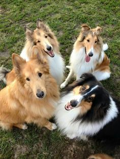 Collies...the happy gang!