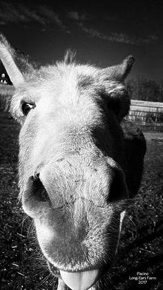 This. Donkey. ♡♡♡ #Pacino #LongEarsFarm  February 2017