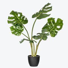 Roggens monstera plante Plante Monstera, Ikebana, Bonsai, Plant Leaves, Plants, Plant, Flower Arrangements, Planets, String Garden