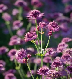"""Astrantia major 'Ruby Cloud' - Sarah Raven: """"Astrantia 'Ruby Cloud' has flowers in a deep ruby red. It is an excellent garden plant and cut flower, dried as well as fresh. It will grow happily in sun or light shade."""""""