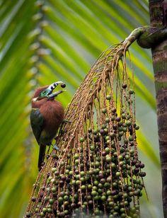 Fêmea de araçari-poca (Selenidera maculirostris) enquanto se alimenta dos coquinhos do palmito-juçara (Euterpe edulis), palmeira ameaçada de extinção: http://abr.ai/1uFJipP