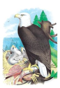 The Bald Eagle (White-Headed Eagle) 12x18 Giclee on canvas