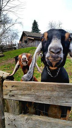 Crazy eyed goats by mchiavero via http://ift.tt/2gSt3WQ