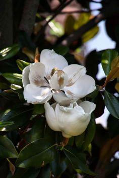 Steel Magnolia.  Photography via Photography Talk.