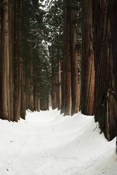 Tall trees in the snow • beautiful nature in winter · Nature + Landscape Photography Inspiration · Beautiful Moody Outdoors · Forest · Woods