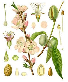 Rosaceae-Prunus dulcis (Almendro)Sub genero prunus.  Fruta,Almendra
