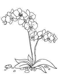 moth orchid coloring pages - photo#9