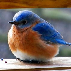 Blue bird tattoo god 49 ideas for 2019 Bluebird Tattoo, Bird Tattoo Men, Red Bird Tattoos, White Tattoos, Ankle Tattoos, Funny Birds, Cute Birds, Pretty Birds, Beautiful Birds