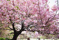 Dia da árvore!! Inspiração para o dia da árvore! decorando a escola com a Sakura ( Cerejeira)