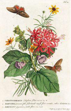 Georg Dionysius Ehret -- 1.Ceratocephalus, 2. Martynia, 3. Narcissus -- Georg Dionysius Ehret -- Artists -- RHS Prints