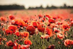 poppy-665815_1280.jpg (1280×853)