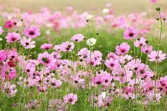 large flower cosmos | Beautiful Cosmos Flower Photograph