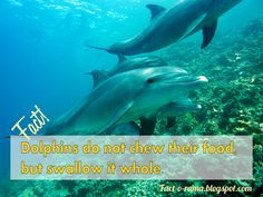 Dolphin Facts - Amazing facts about dolpins you never knew - Did you know that dolphins do not chew their food, but swallow it whole? Fact-o-Rama Dolphin Facts, Dolphin Family, Shocking Facts, Dog Facts, How To Stay Awake, Human Behavior, You Never Know, Killer Whales, Dolphins