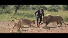 South African zoo keeper Kevin Richardson, stylishly dressed in a Van Gils suit while playing soccer with lions he raised on his sanctuary