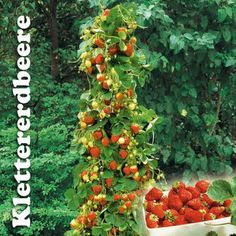 60 cm  Terrassenobst Trio-Obst Johannisbeere 3 Sorten in einem Deko Topf  ca
