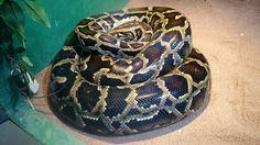 Cobra Piton se aquecendo após trocar pele