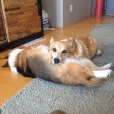 A comfy pillow....that's what friends are for.   #threecorgis
