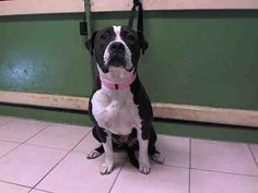 ROXY - ID#A5032706\r\n\r\nMy name is Roxy and I am described as a female, black and white Pit Bull Terrier\r\n\r\nThe shelter thinks I am about 3 years old.\r\n\r\nI have been at the shelter since Feb 12, 2017.\r\n\r\nFor more information about this animal, call:\r\nLos Angeles County Animal Control - Carson at (310) 523-9566\r\nAsk for information about animal ID number A5032706