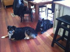Pet Sitter needed for our two Australian Shepherds  House Sitter Needed  Needham   Norfolk,Massachusetts United States  Oct 11,2013 For 1-3 days at a time when we take short vacations | Micro Term Not a member? Join today to contact homeowner DashChase We have two Australian Shepherds and have a large, fenced in backyard so they can run around outside. No need to take the dogs for a walk. Just play with them outside.