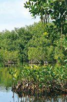 Las semillas en forma de torpedo del mangle rojo, Rhizophora mangle, germinan antes de desprenderse del árbol; al hacerlo, los pequeños arbolitos se entierran en el sustrato al pie del árbol madre.