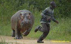 L'ippopotamo furioso (4 foto). Foto 1    L'ippopotamo ha una lunghezza testa-corpo da 3,30 a 3,75 m ed è alto al garrese 1,50 m; il peso va da 1,4 a 3 t (i maschi sono nettamente più grossi delle femmine). Nonostante la mole e la curiosa struttura corporea, questo animale è però piuttosto agile. In caso di necessità può caricare – o scappare – a 30 chilometri orari circa.