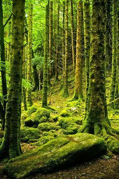 Forest of moss, Killarney National Park, Ireland- something that I would really love to see in person.Forest of moss, Killarney National Park, Ireland- something that I would really love to see in person. Vitrier Paris, Beautiful World, Beautiful Places, Tree Forest, Conifer Forest, The Places Youll Go, The Great Outdoors, Wonders Of The World, National Parks