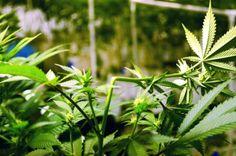 técnicas para aumentar la cosecha de marihuana