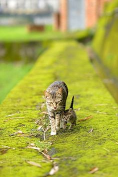 Mother and Kitten strolling on the green
