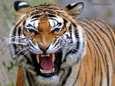 fierce angry tiger - Google Search