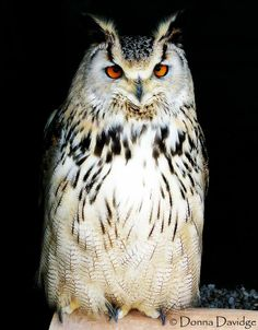 Eastern Siberian Eagle Owl by Donna Davidge