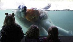 polar bear bobs for pumpkin - point defiance zoo and aquarium, tacoma