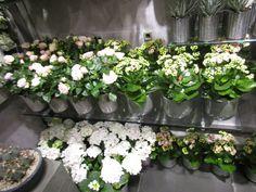 Hvite blomster i potte