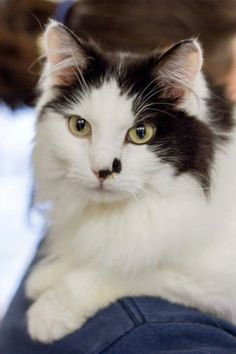 """Moo is a Domestic Medium Hair Mix up for adoption in Sultan, WA! Here's what Pasado's Safe Haven has to say about her: """"This small kitty can hold her own with the big guys in Kitty City. Moo is sociable, loving, and very inquisitive. She has never met a person or animal she didn't consider a friend on sight!"""""""
