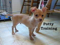 Chihuahua Puppies. How To Potty Train A Chihuahua Puppy. Chihuahua House Training Tips. Housebreaking Chihuahua Puppies Fast & Easy. Share this Pin with anyone needing to potty train a Chihuahua Puppy. Click on this link to watch our FREE world-famous video at ModernPuppies.com