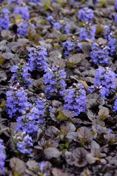 Which Plants to Use as Lawn Alternative : Home Improvement : DIY Network, black scallop bugle weed ,(ajuga reptans 'black scallop' ) Shade Flowers Perennial, Shade Shrubs, Flowers Perennials, Shade Plants, Tall Shrubs, Shade Annuals, Growing Ginger Indoors, Bog Plants, Types Of Plants