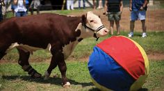 Visitors can come to the Gentle Barn in Tennesee to see Dudley and other rescued animals and to learn more about how they can help other animals in need. Good job, Dudley! | Dudley The Cow Got A New Prosthetic Leg And Is So Happy Now