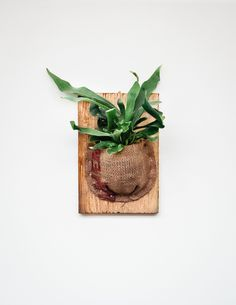 Staghorn Fern Care, Staghorn Fern Mount, Container Plants, Container Gardening, Air Plants, Indoor Plants, Indoor Herbs, Cactus Plants, Ferns Care