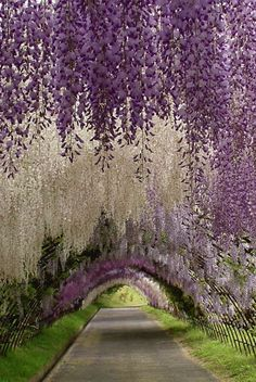 The Wisteria Tunnel at Kawachi Fuji Gardens, in Kitakyushu, Japan